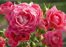 Cerise Flower Circus rose