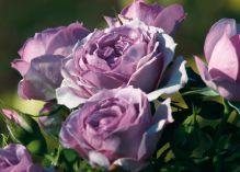 Lavender Flower Circus rose