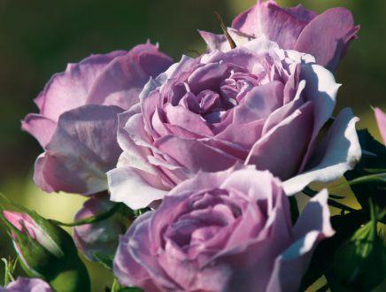 rose perfume flower circus